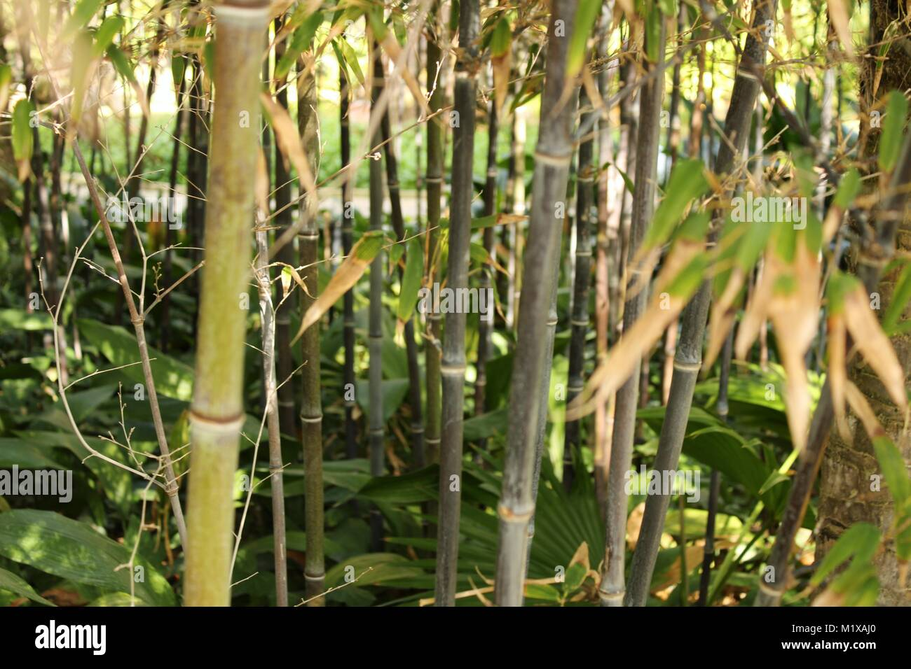 Phyllostachys Nigra Schwarzer Bambus Im Garten Stockfoto Bild