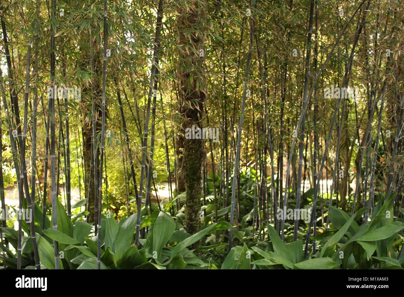 bambus im garten, phyllostachys nigra, schwarzer bambus im garten stockfoto, bild, Design ideen