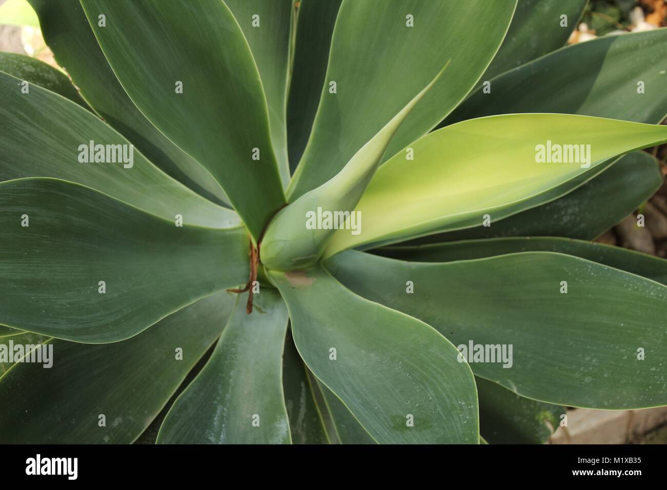 agave attenuata in flower stockfotos agave attenuata in flower bilder alamy. Black Bedroom Furniture Sets. Home Design Ideas