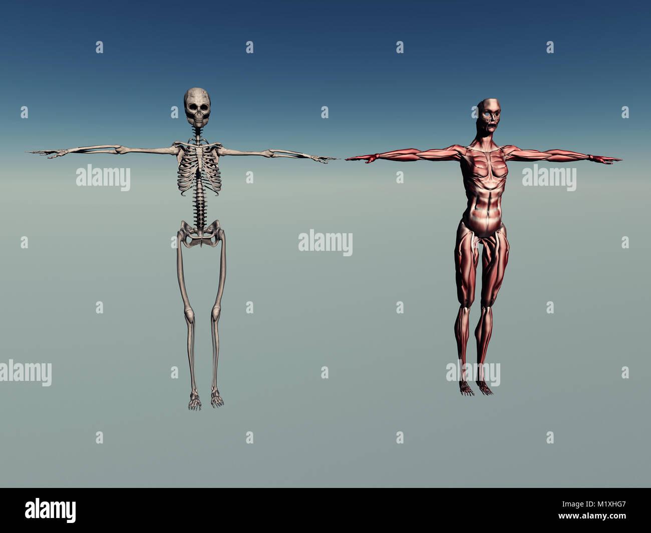 Weibliche Anatomie des Menschen Stockfoto, Bild: 173302871 - Alamy