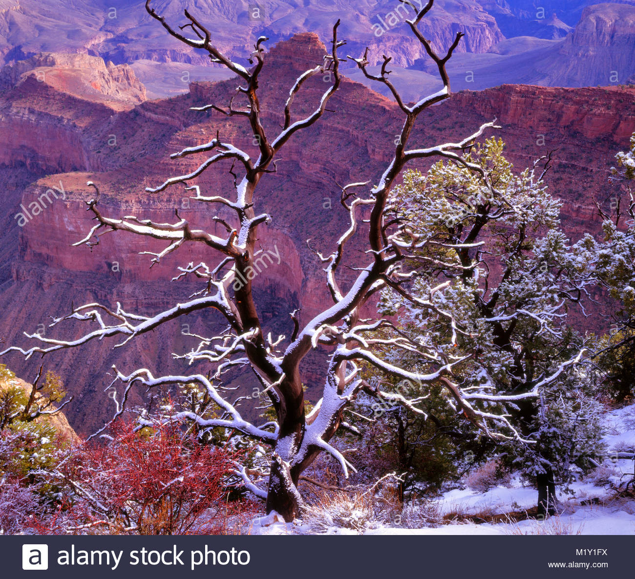 Verschneite Pinyon entlang des South Rim, Grand Canyon National Park, Arizona Stockbild