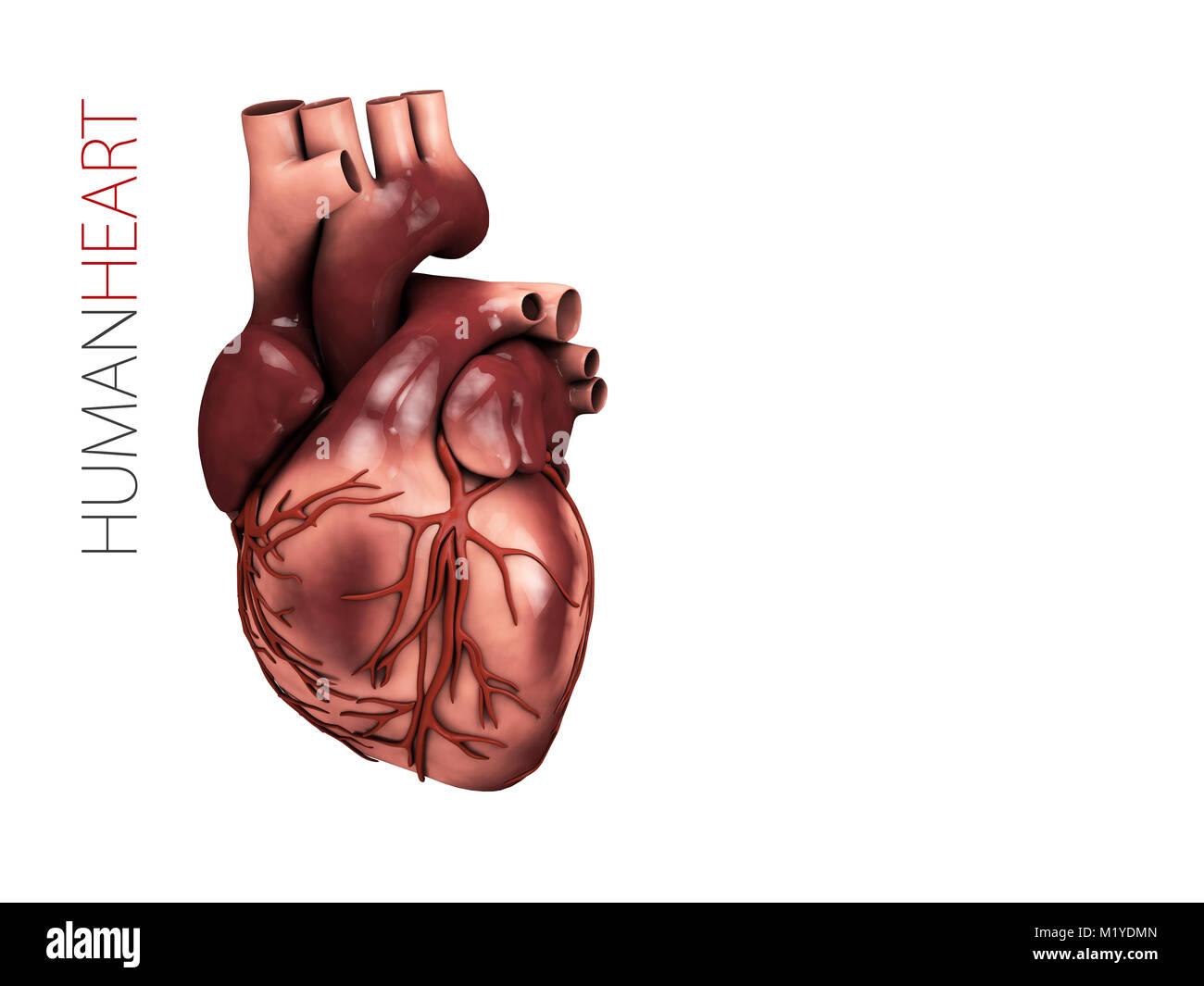 Beste 3d Anatomie Herz Zeitgenössisch - Anatomie Von Menschlichen ...