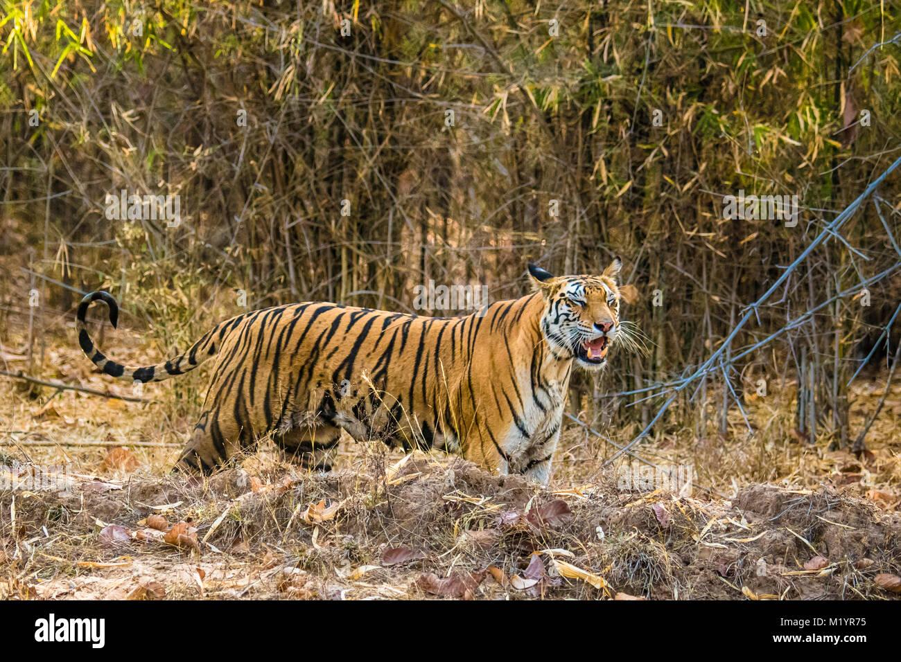 Wild nach weiblichen Bengal Tiger, Panthera tigris Tigris, mit vollen Brustwarzen, Aufruf für ihren Jungen, Bandhavgarh Tiger Reserve, Madhya Pradesh, Indien Stockfoto