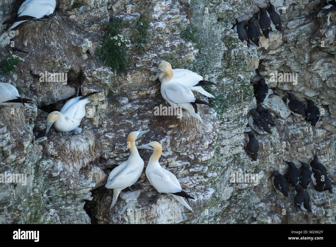 Hohe Aussicht close-up von Seevögeln nisten (tölpel & Alke) auf felsigen Kreidefelsen - Seite Nester Stockbild