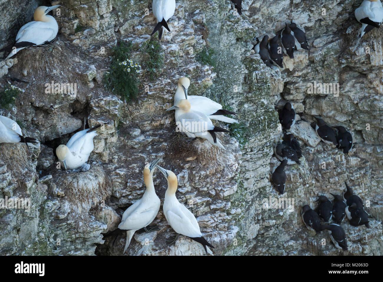Hohes Ansehen in der Nähe von 3 verschiedenen Seevögel (tölpel & Alke) Verschachtelung auf Kreidefelsen Stockbild