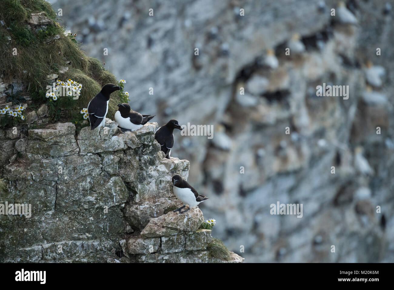 Close-up von 4 Erwachsenen tordalken auf flachen, schmalen Felsvorsprüngen in einer felsigen, Kreidefelsen Stockbild