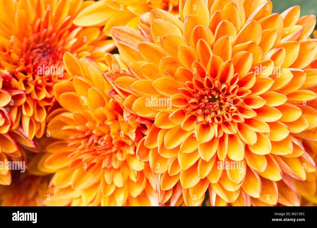 Ligth orange gelb Mutter Blumen im Garten. Schöne Mama Blumen ...