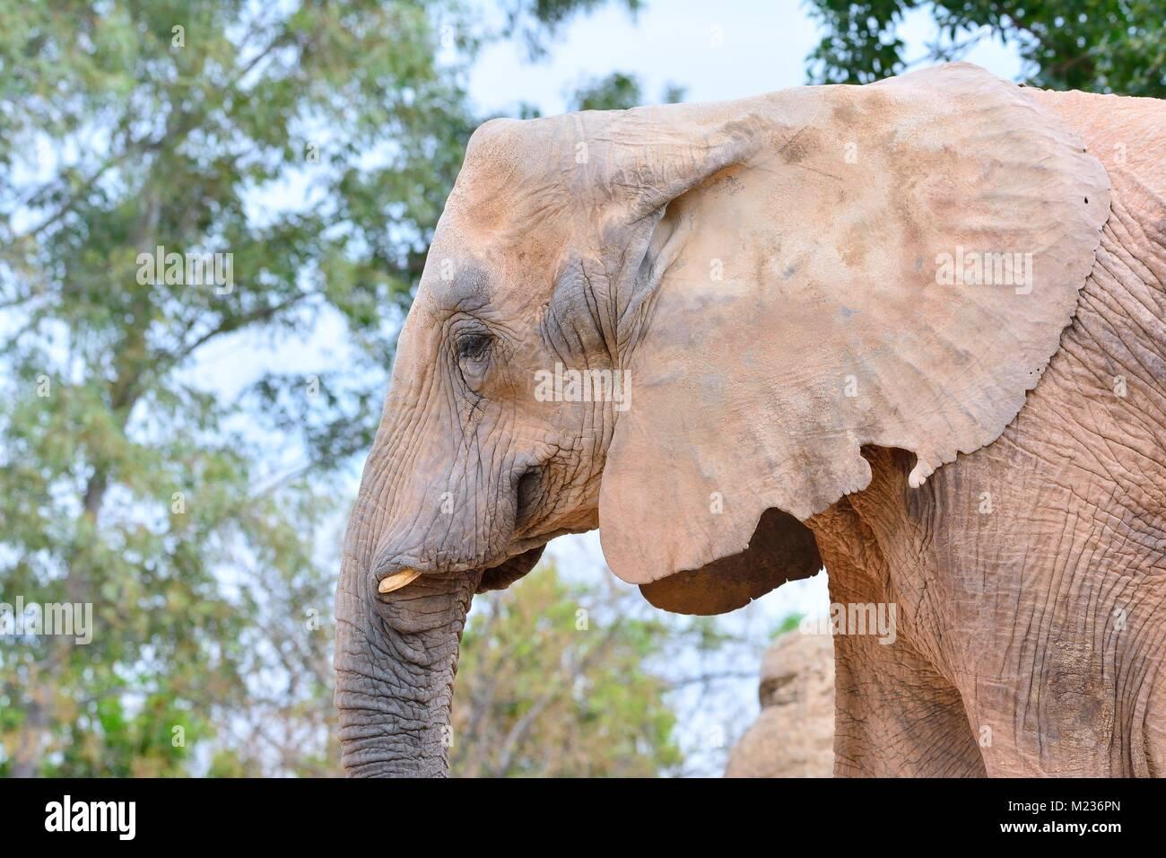 In der Nähe von Elephant Trunk Grey's gehäutet und Mund mit Tusk Stockfoto