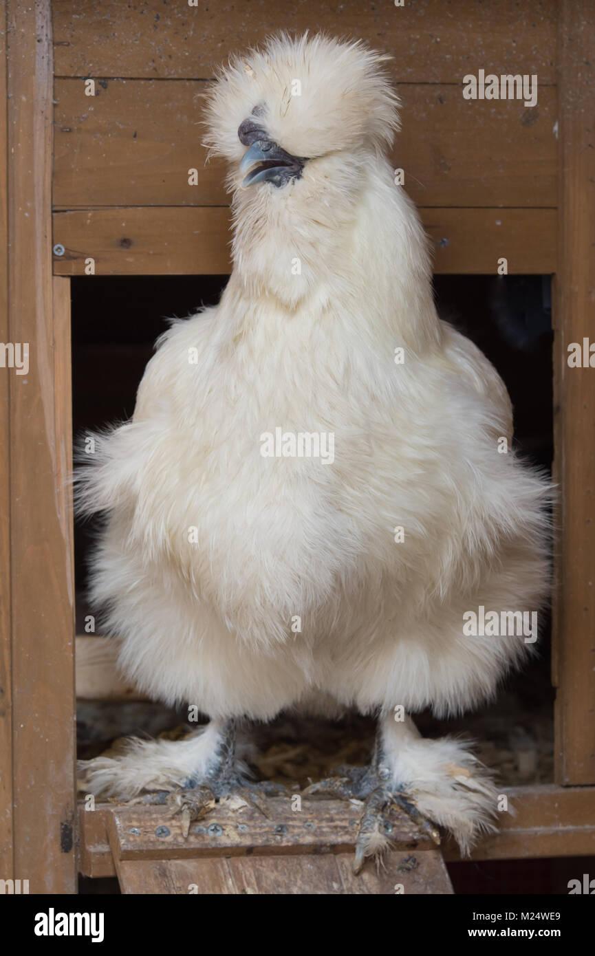 Weiss Silkie Huhn Henne Im Coop Tur Stockfoto Bild