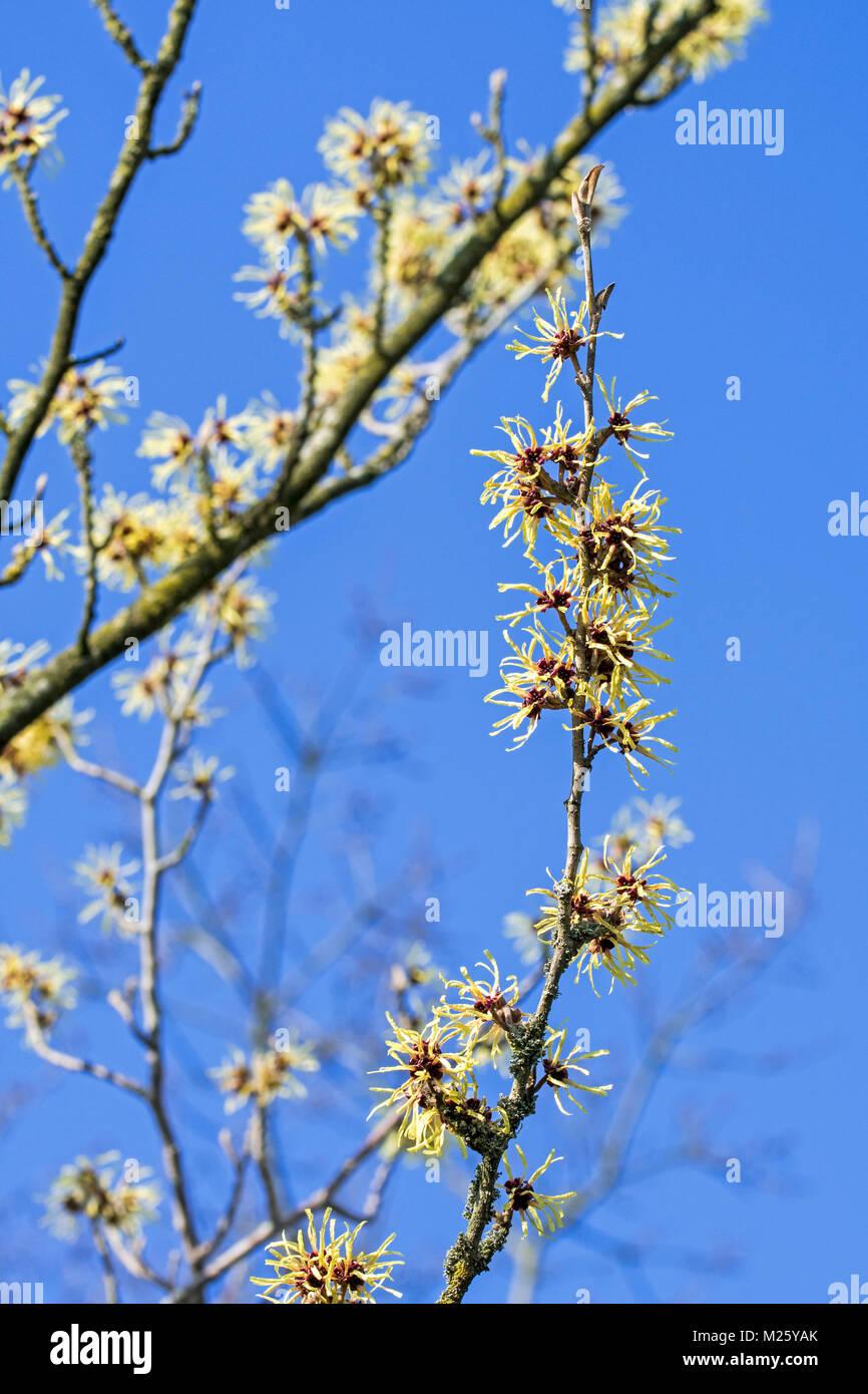 Ganz und zu Extrem Hamamelis Baum Winter Stockfotos & Hamamelis Baum Winter Bilder @PS_02