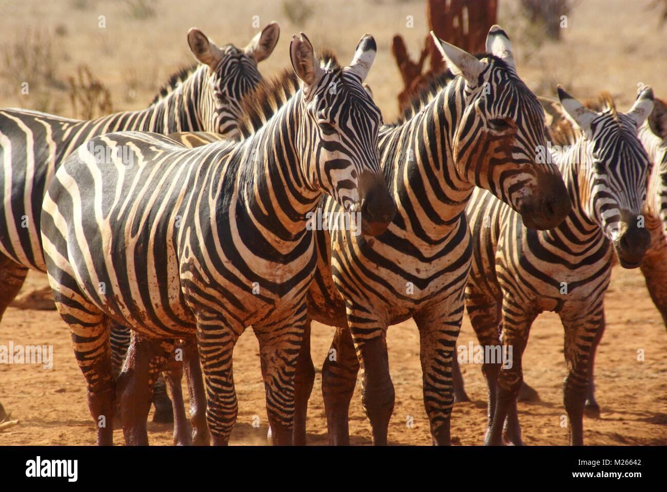 Zebra Gruppe in Kenia Safari Stockfoto