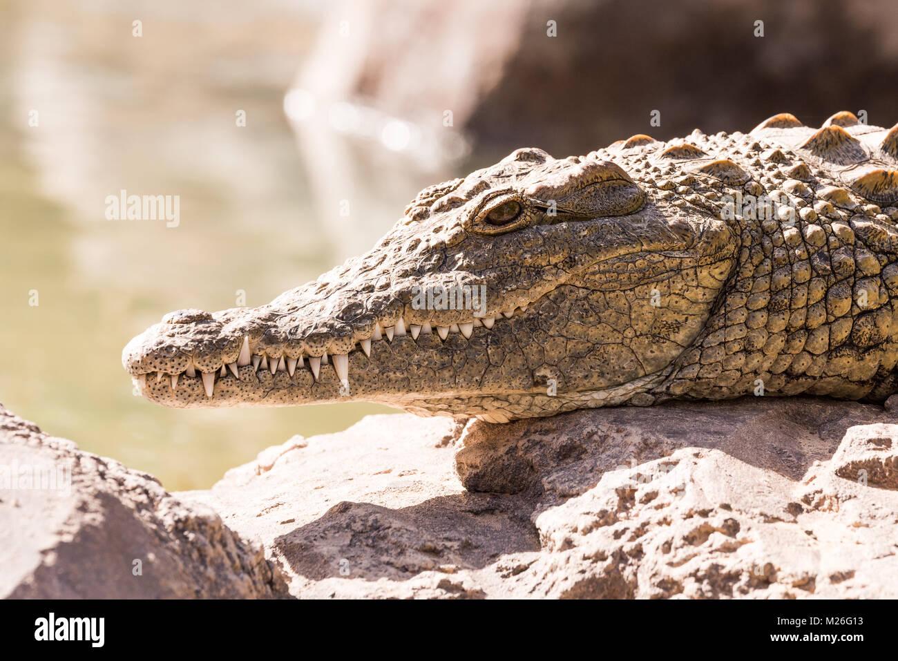 Blick auf ein faules Krokodil oder Alligator Stockfoto