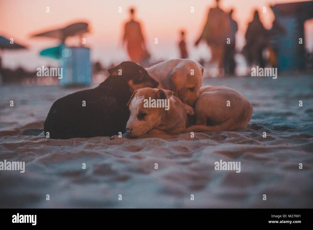 Spaziergang am Strand beim Sonnenuntergang in Goa Strassenhunde in Indien Stockbild