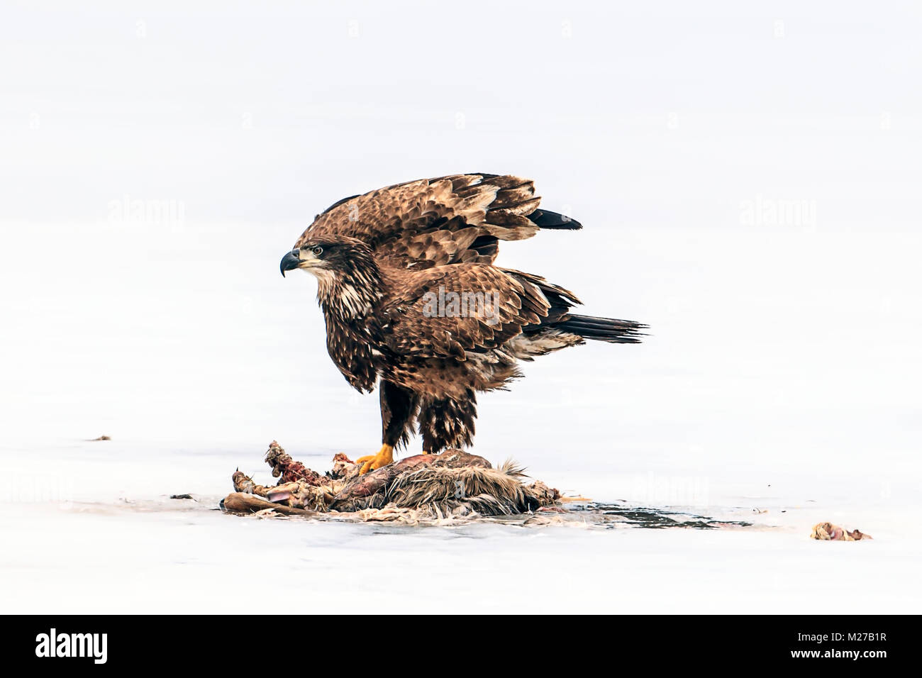 Unreife kahler Adler flattert Flügel mit toten Tier auf dem gefrorenen Hauser See in Idaho. Stockbild