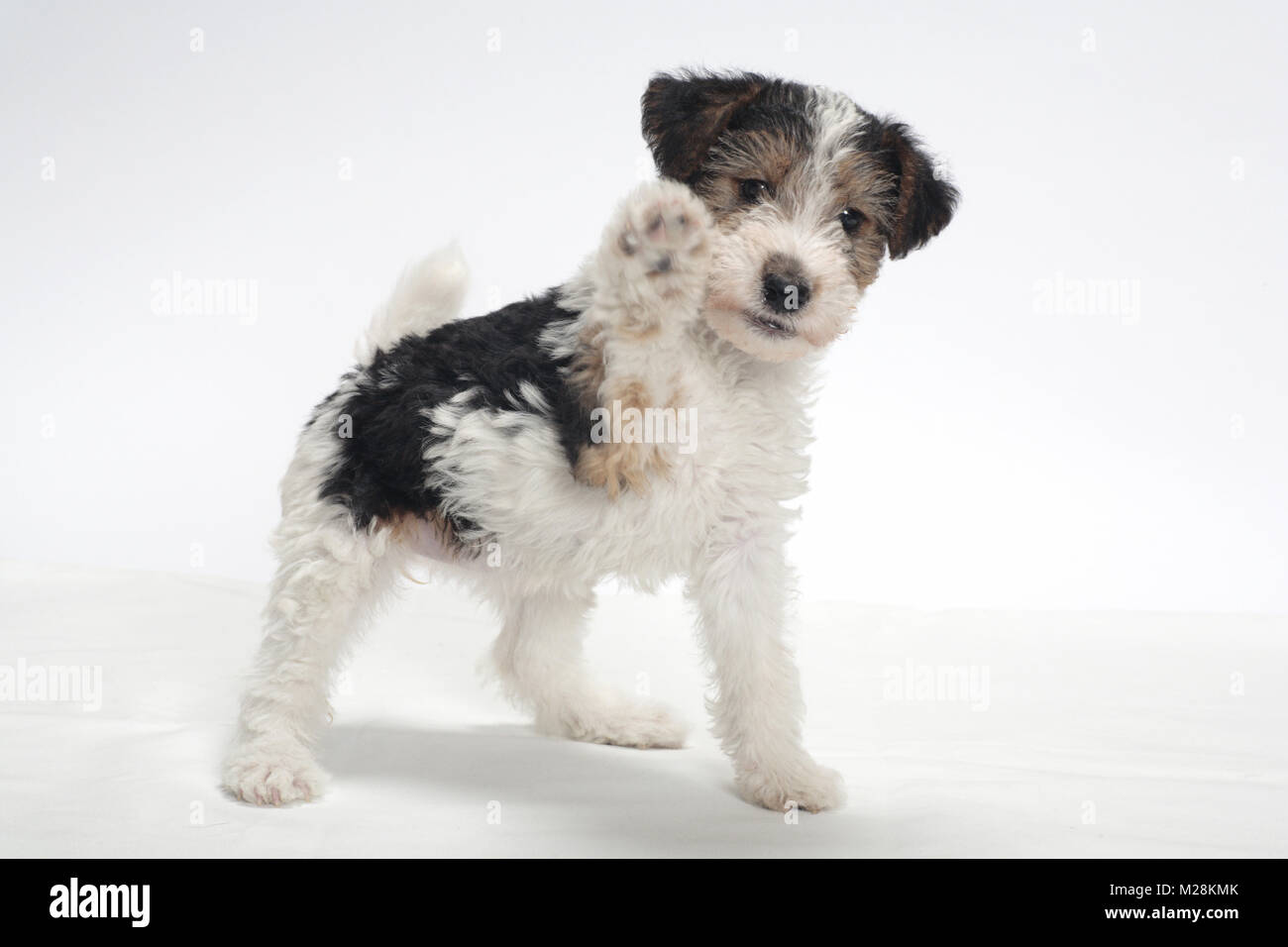 Wirehair Stockfotos & Wirehair Bilder - Alamy