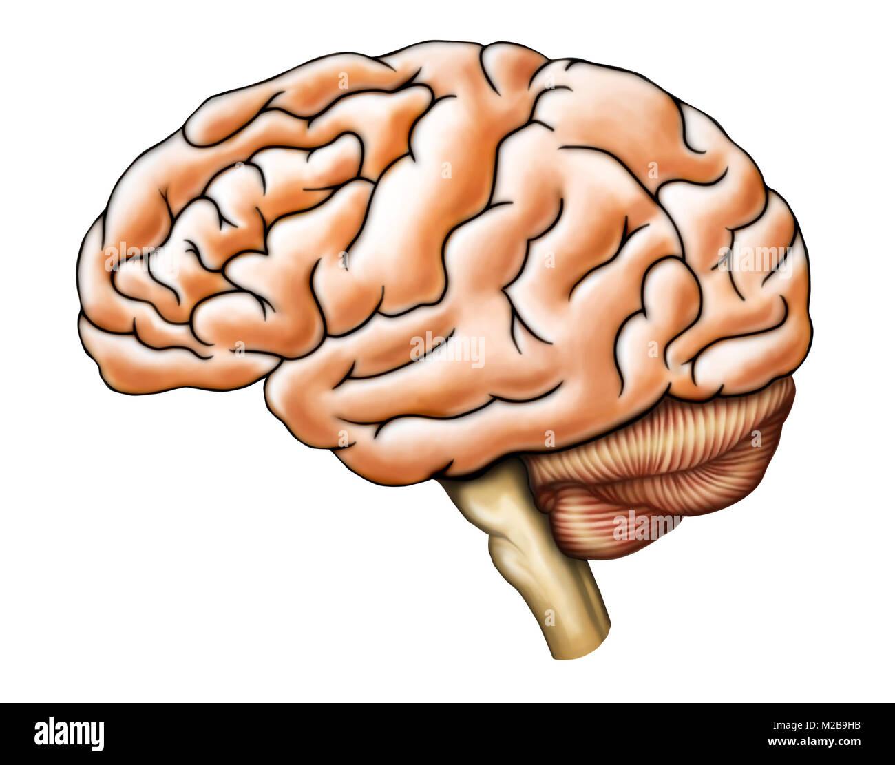 Die menschliche Anatomie des Gehirns, Seitenansicht. Digitale ...