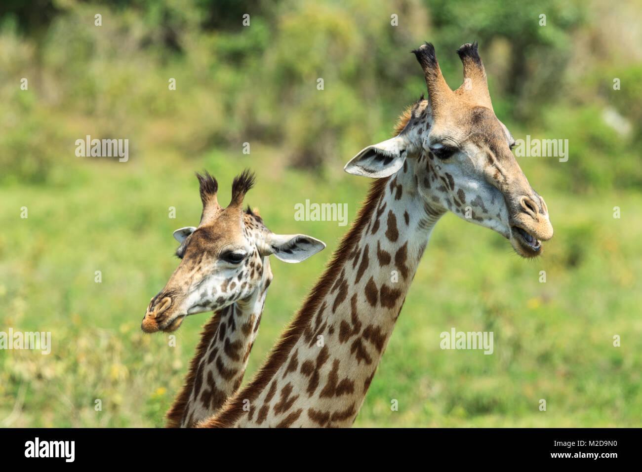 Die Masai Giraffen, auch maasai Giraffe, auch genannt Kilimanjaro giraffe buchstabiert wird, ist die größte Stockbild