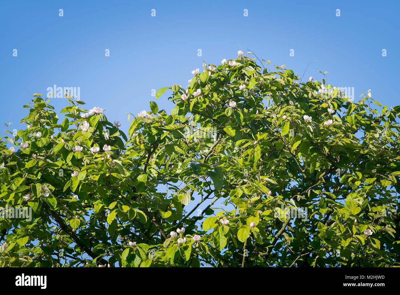Essbarer Obstbaum Stockfotos & Essbarer Obstbaum Bilder