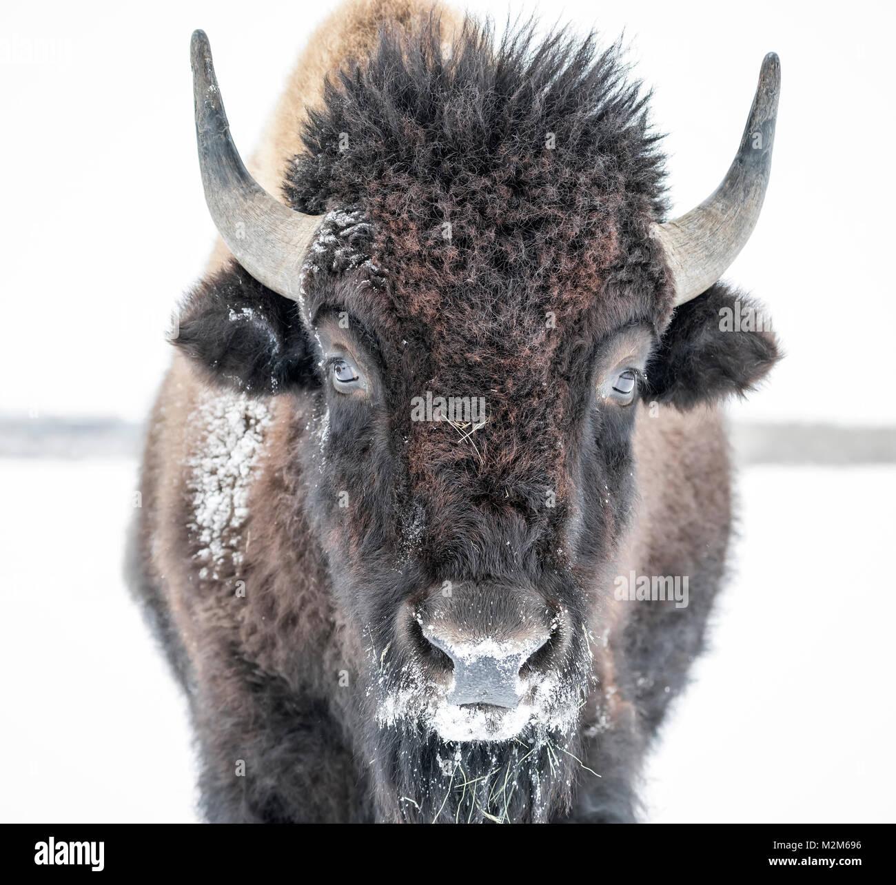 Plains Bisons (Bison bison Bison) oder American Buffalo, im Winter, Riding Mountain National Park, Manitoba, Kanada. Stockbild