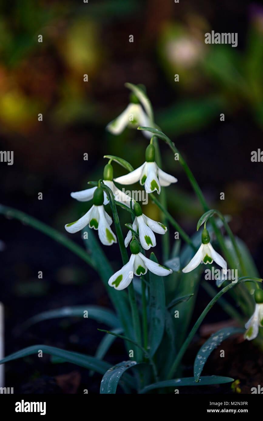 Galanthus Trümpfe, Schneeglöckchen, Schneeglöckchen, Frühling, Blume, Blumen, Blüten, Grün, Stockbild