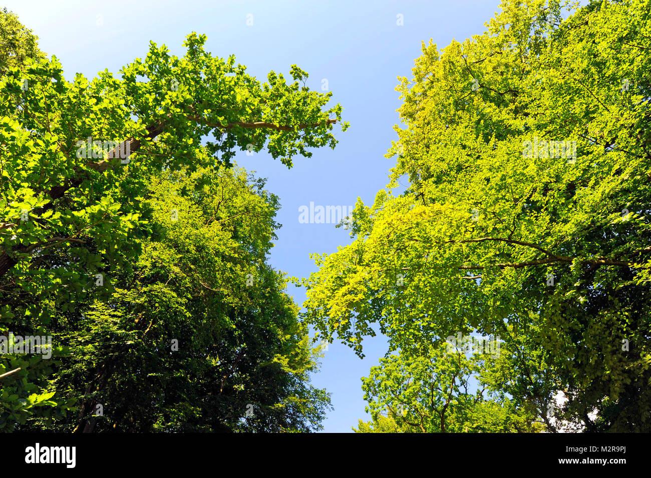 Blick auf die baumkronen eines gesunden Laub Mischwald mit blutbuchen, Ahorn, Eichen und anderen Laubbäumen Stockbild