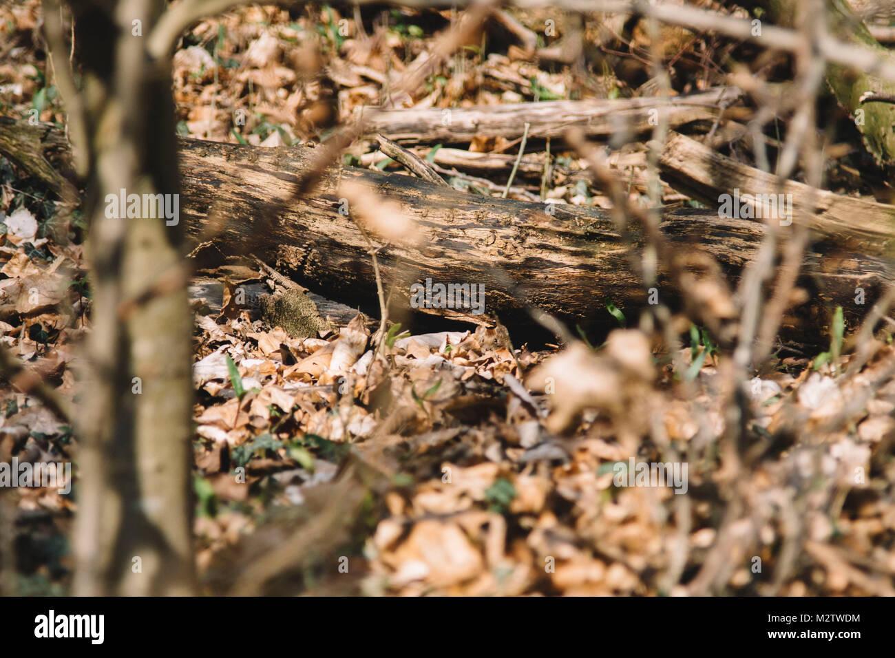 Kleine Maus versteckt sich im Wald zwischen trockenem Laub. Stockbild