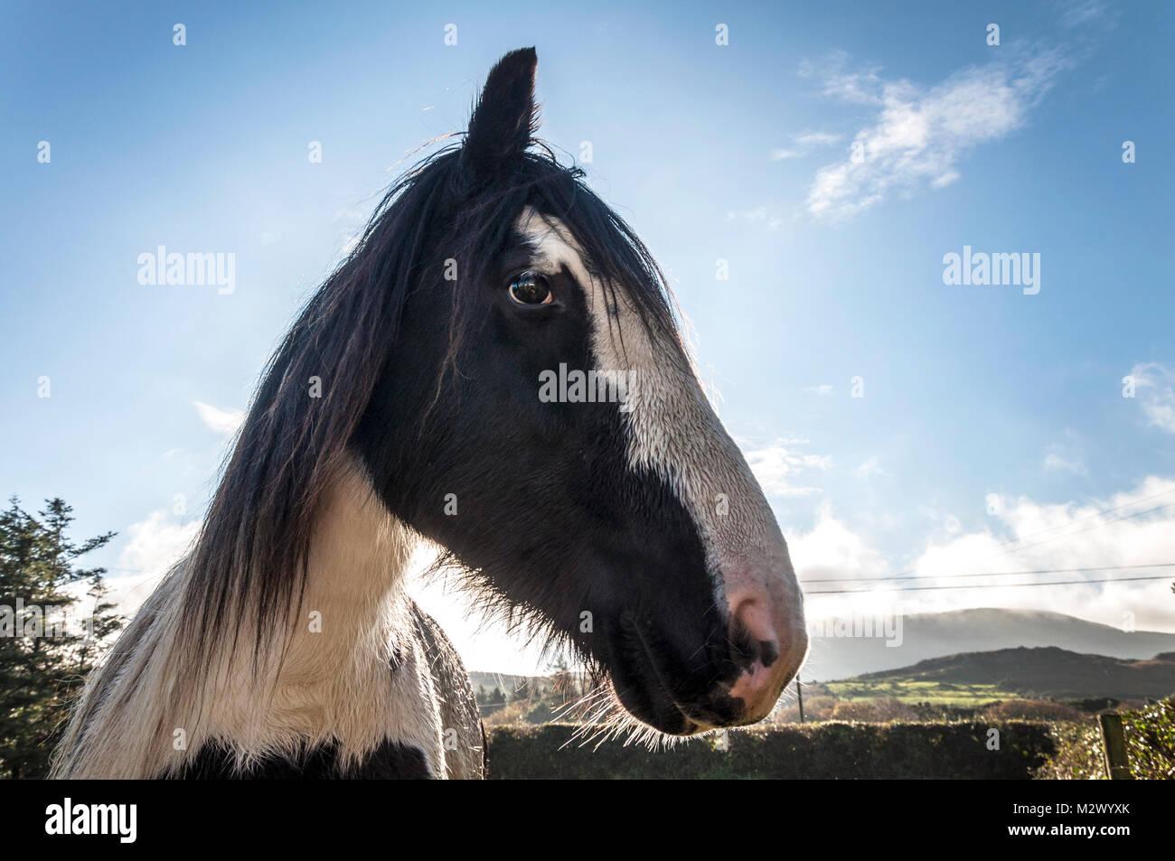 Horse Portrait in einem Feld in der Grafschaft Donegal, Irland Stockbild