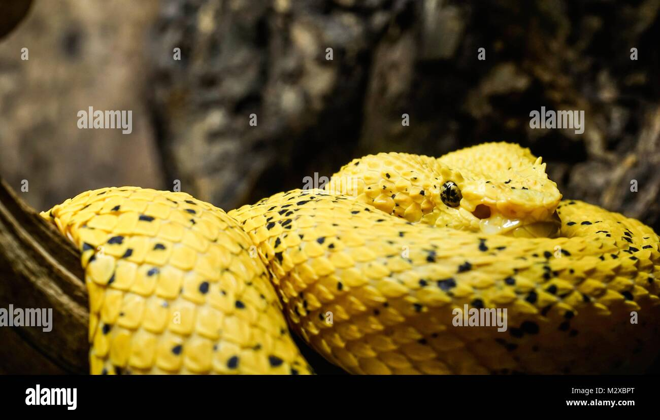 Poison Viper Stockfotos Poison Viper Bilder Seite 2 Alamy