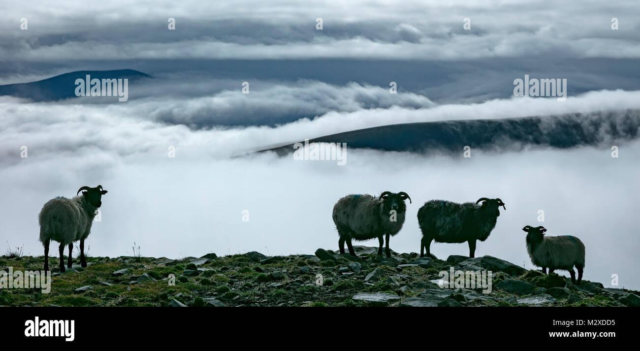 Schafe über eine Bank von Nebel, Cong, Grafschaft Mayo, Irland. Stockbild