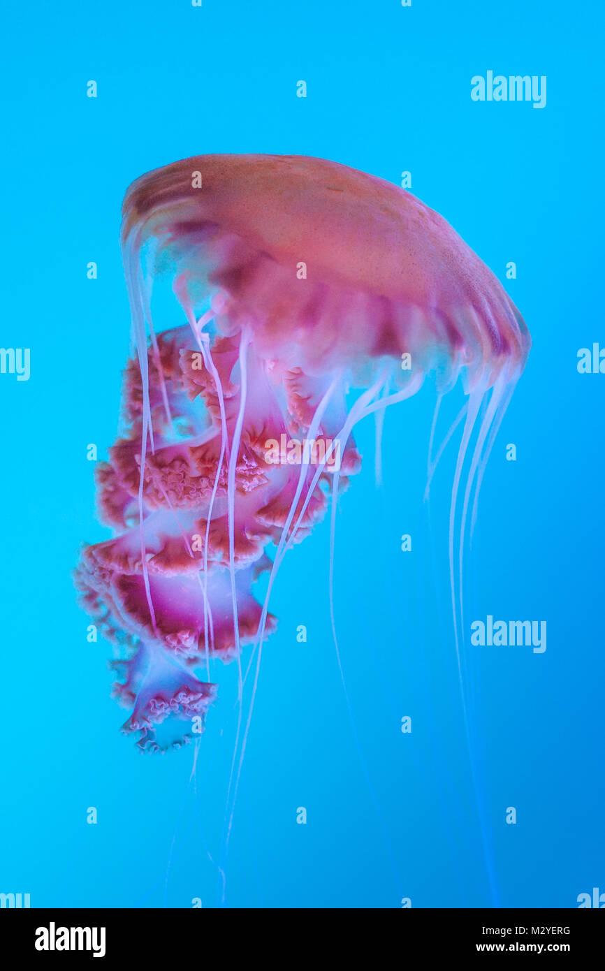 Eine schöne Geschöpf des tiefen fotografiert in einem Aquarium im Aquarium des Pazifik in Long Beach, Stockbild