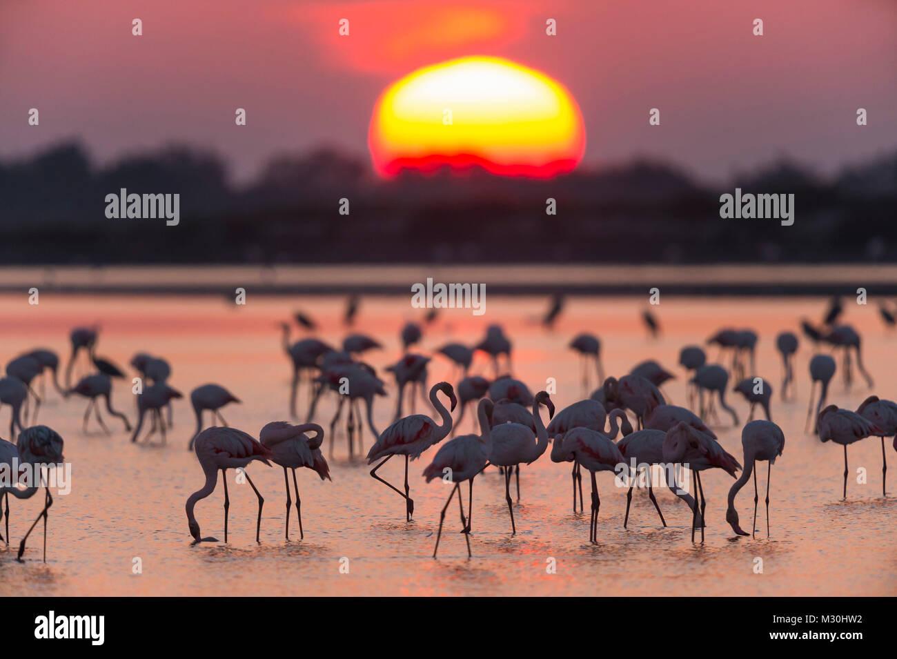Europäische Flamingo, Flamingo, Phoenicopterus roseus, bei Sonnenaufgang, Saintes-Maries-de-la-Mer, Parc naturel Stockbild