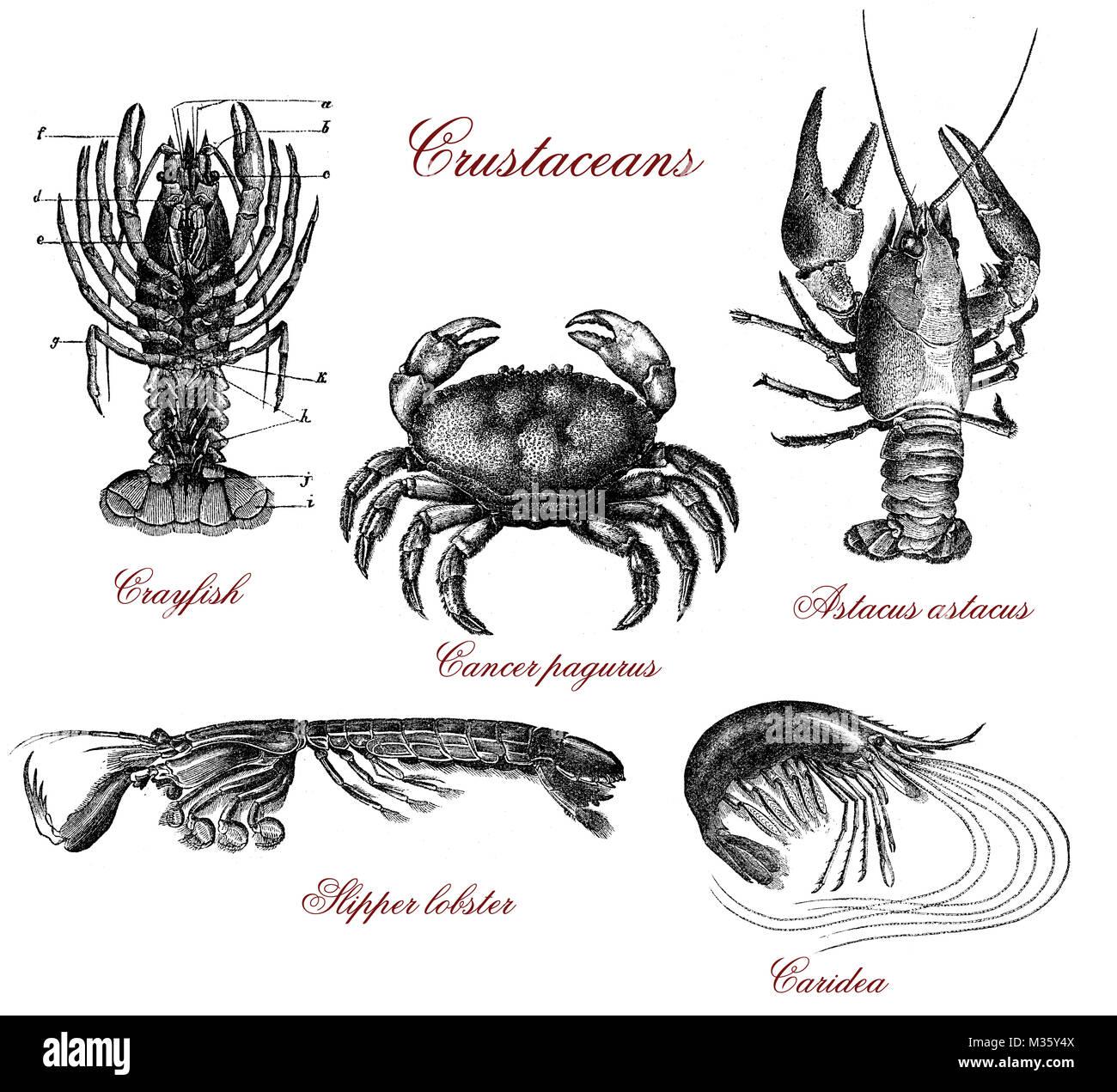 Black White Drawing Crab Stockfotos & Black White Drawing Crab ...