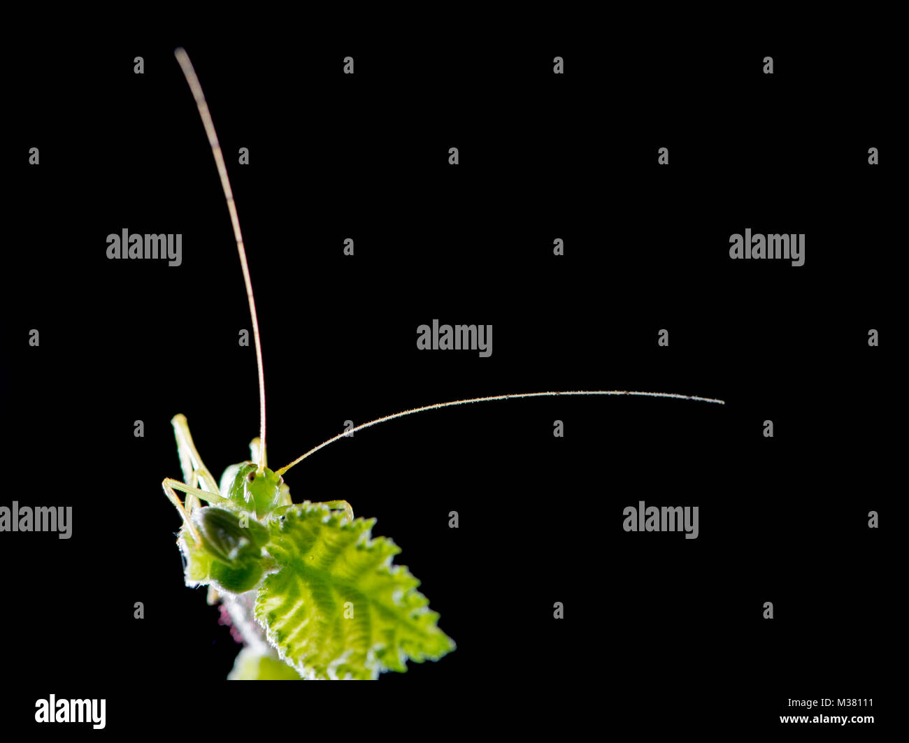Bush-Cricket: unid sp. Familie: tettigoniidae. Übersicht langen Fühler. Stockbild