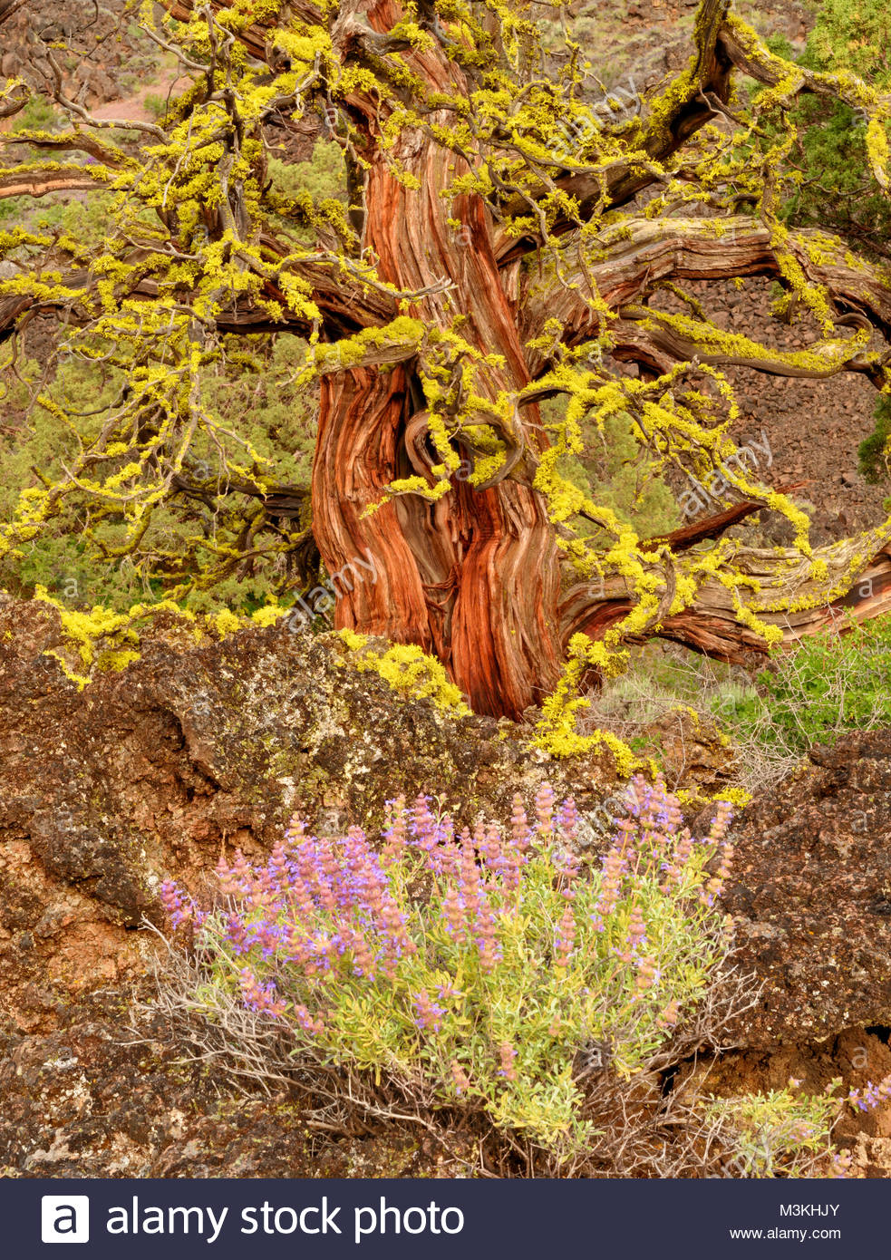 Purple Sage und alten Western Juniper, Lava Beds National Monument, Kalifornien Stockbild