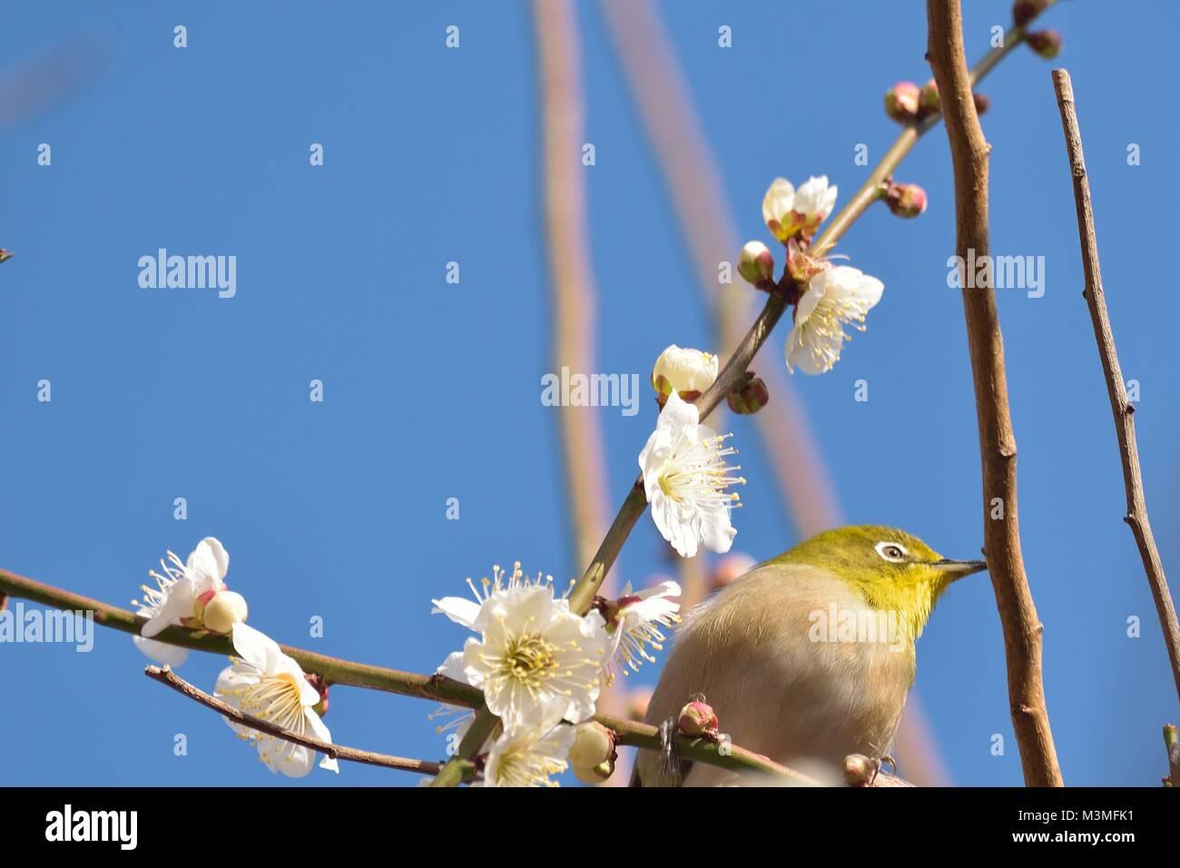 Japanische weiße Auge Vogel auf blühenden weißen Pflaumenblüten Baum Stockbild