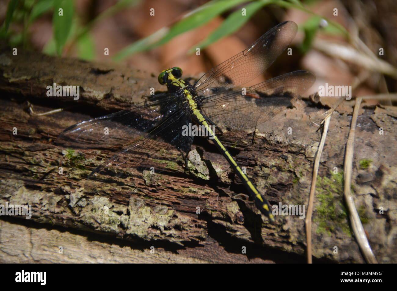 Eine grüne und schwarze Libelle auf mit einigen greenage im Hintergrund des Bildes. Stockbild