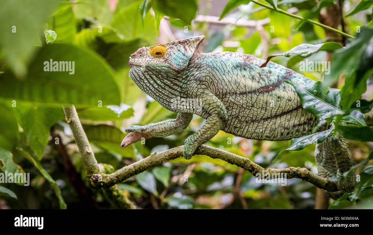 Chamäleon im Baum, Madagaskar Stockbild