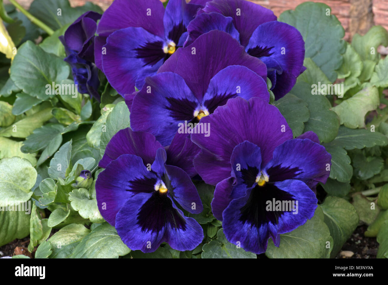 viola blue bedding plant stockfotos viola blue bedding plant bilder alamy. Black Bedroom Furniture Sets. Home Design Ideas