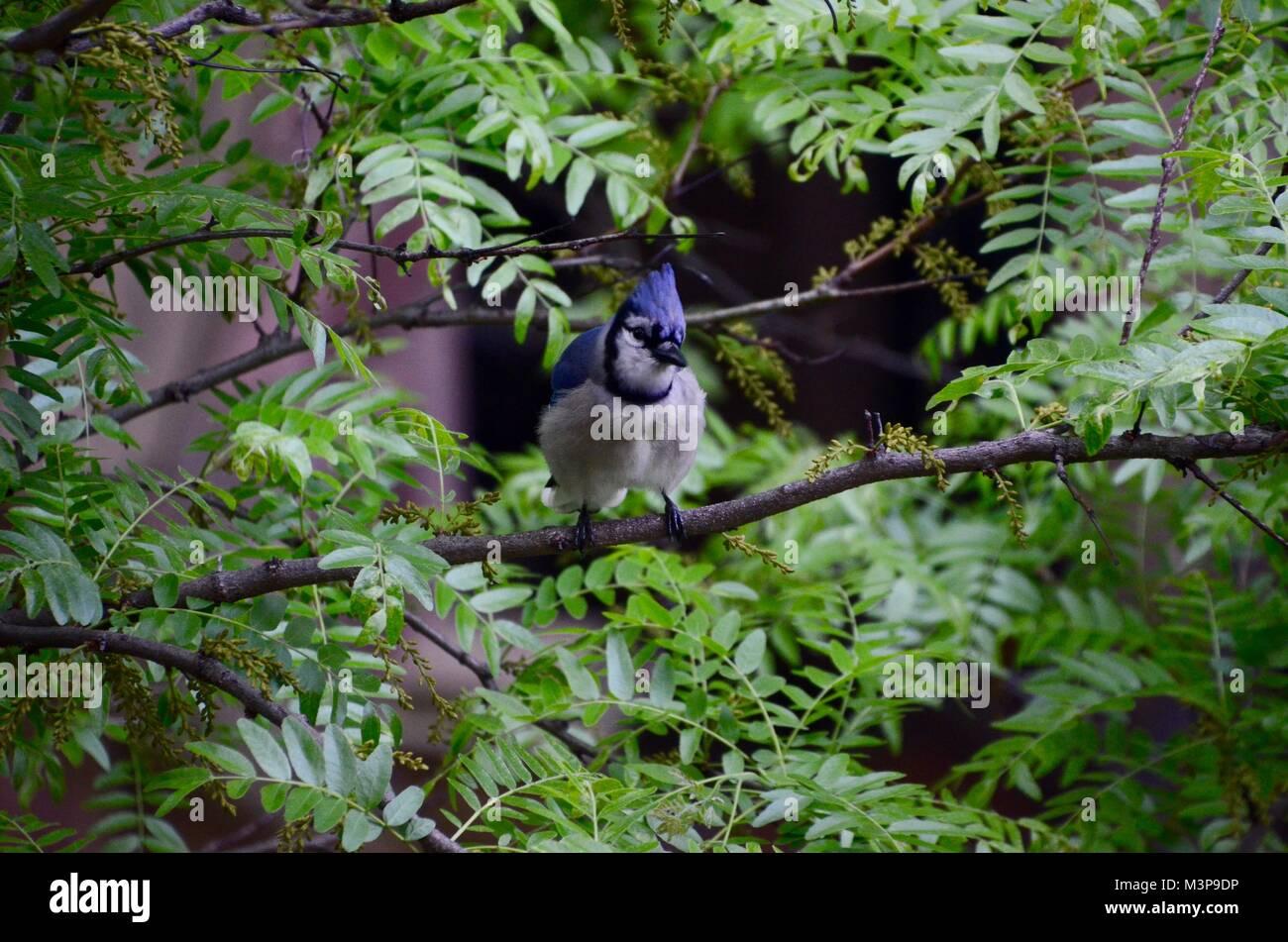 Einen Blue Jay sitzt in einem Baum in Brooklyn New York USA Stockbild