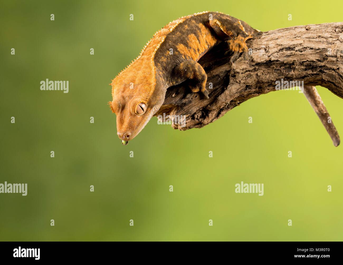 Studio Hintergrund Gecko auf einem Zweig Stockbild