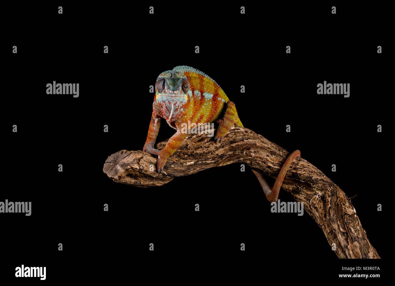 Studio Hintergrund Chamäleon auf einem Zweig Stockbild