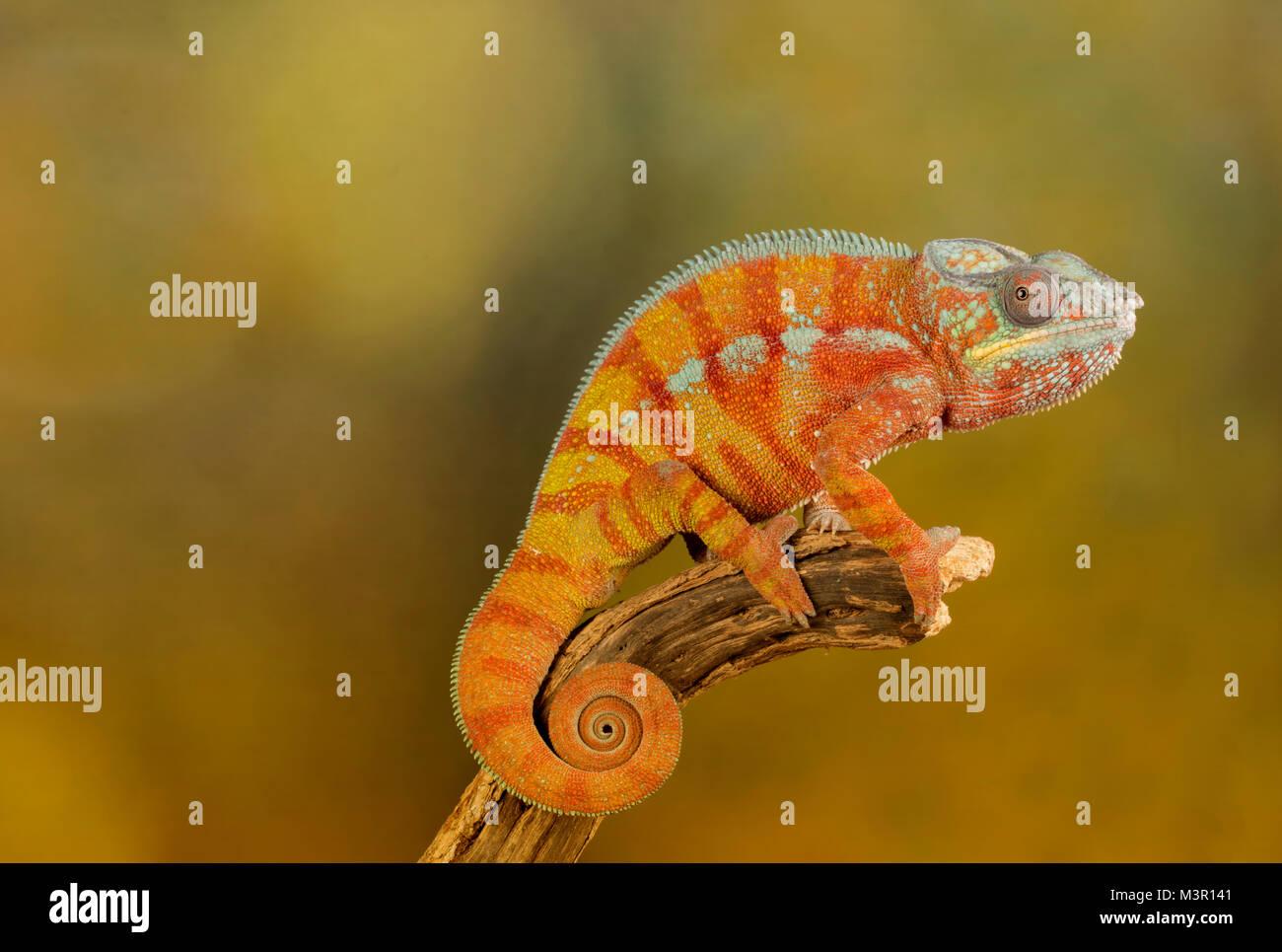 Chamäleon auf einem Studio Hintergrund Stockbild
