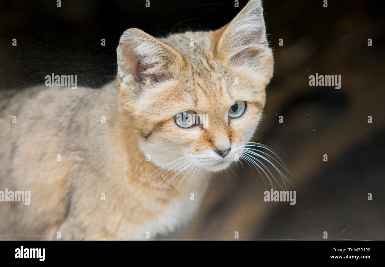 Sand cat auf Felsen in der Nähe die Gesichtsmerkmale Stockbild