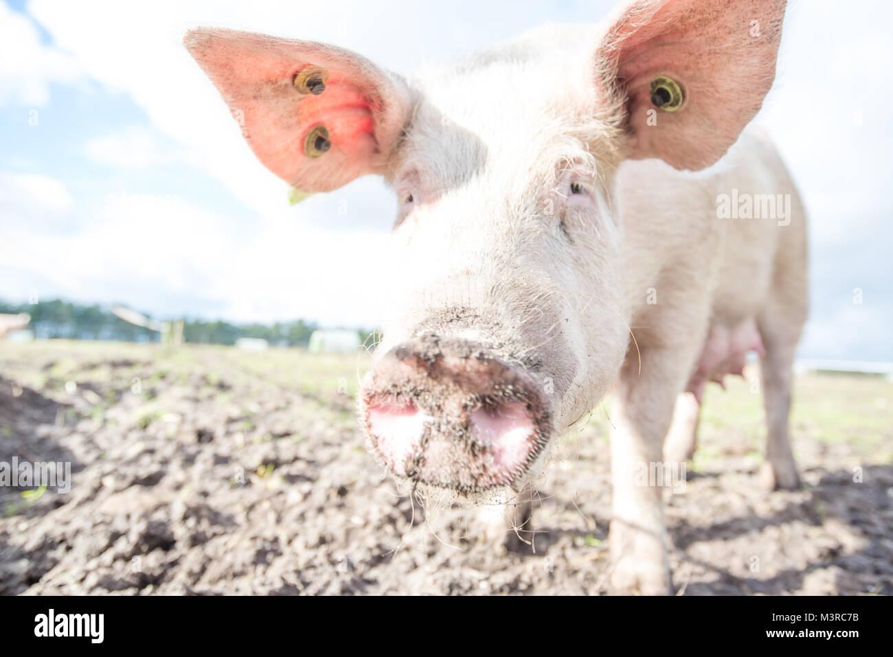 Glückliche Schweine auf einem Bio-Bauernhof in Großbritannien Stockfoto