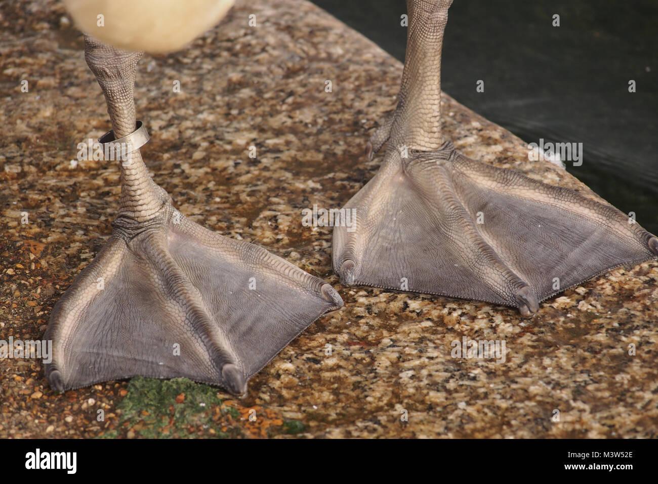 Eine Nahaufnahme zeigt den Schwimmhäuten eines Mute swan in Kensington Gardens, London Stockbild
