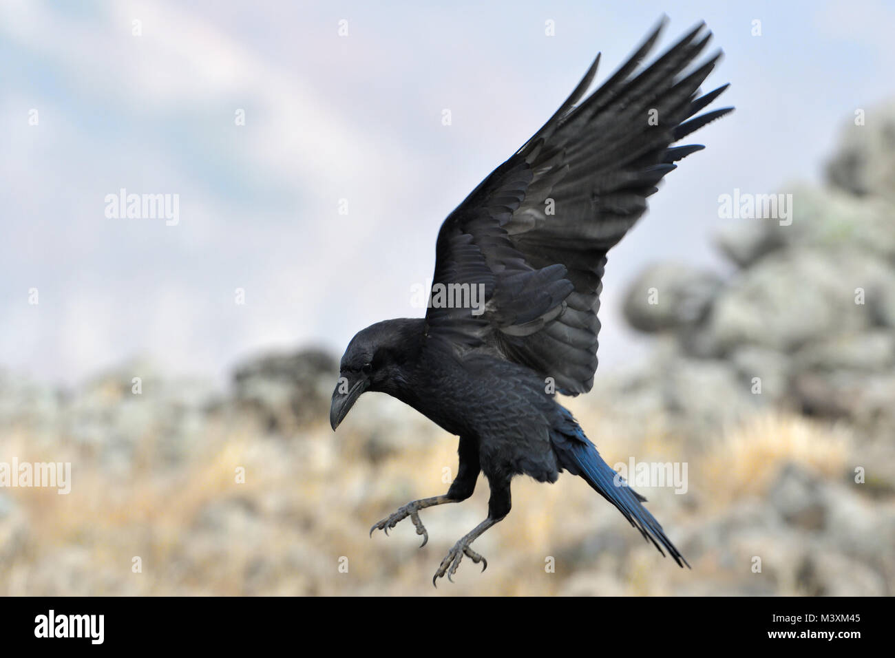 Kolkrabe (Corvus Corax) Landung Stockbild