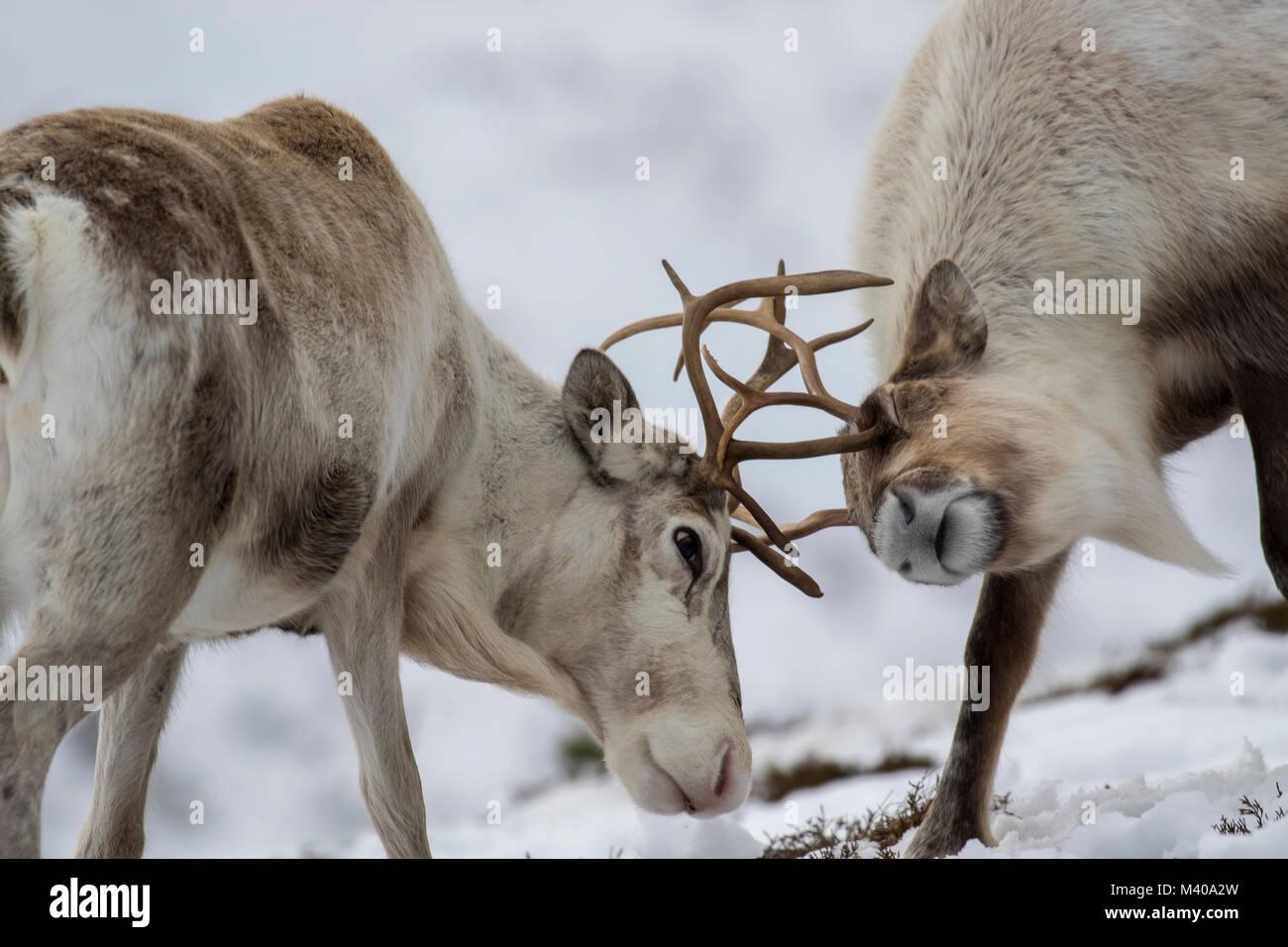 Rentier Rangifer tarandus, Beweidung, Nahrungssuche im Schnee an einem windigen kalten Wintern Tag auf einem Hügel Stockbild