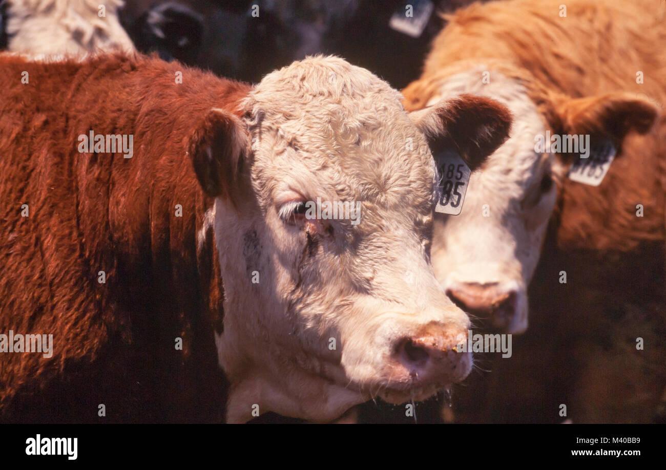 Rinder mit Ohrmarken gekennzeichnet sind, wie sie sind, erwarten die Schlachtung in einem Feedlot gehalten Stockbild