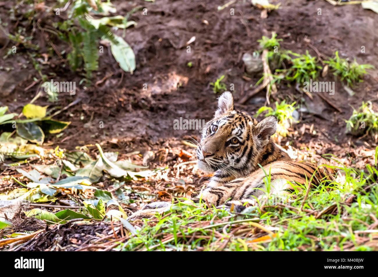 Eine seltene und leistungsstarke Sumatra Tiger liegt in einem schattigen Bereich während einer Safari Stockbild
