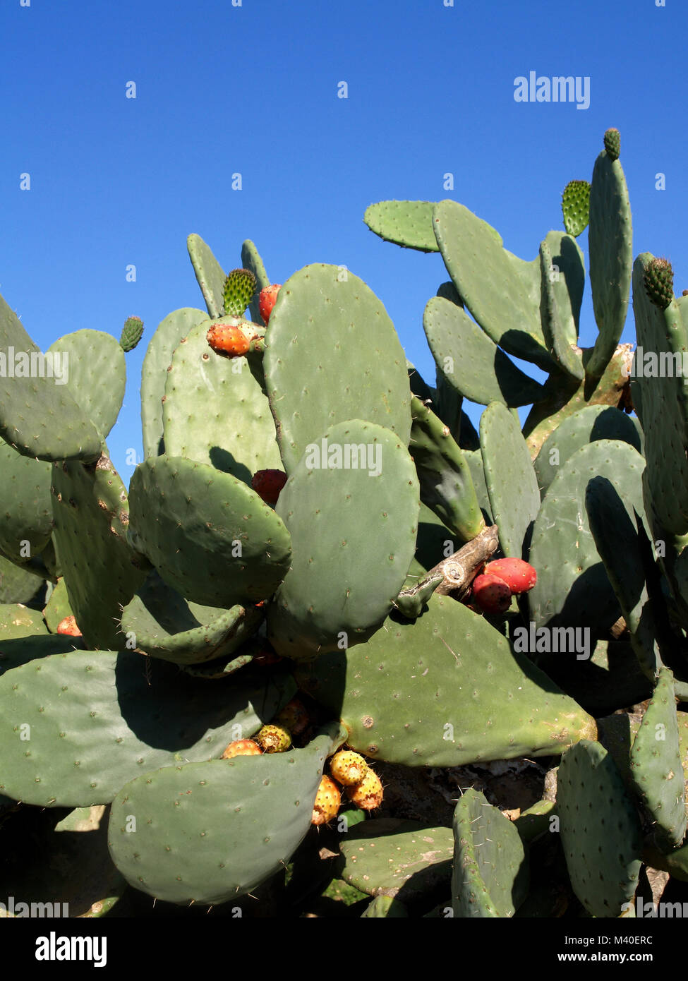 Opuntia (Kaktusfeigen) wachsende in Korfu, Griechenland Stockbild
